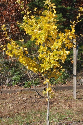 Nuts Ginko Fall Color